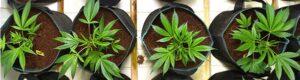 marijuana autofiorenti