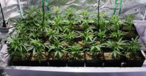 talea cannabis