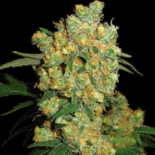 SEMI CANNABIS THC